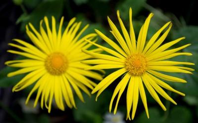 Carrie Preston rekomenduoja nuostabų visų pamirštą augalą – laumenę