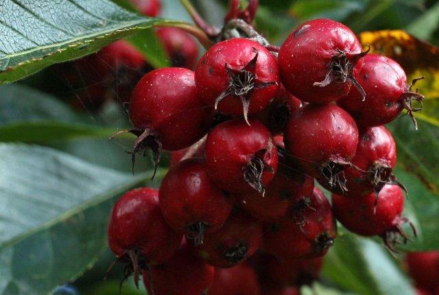 Gudobelės vaisiai