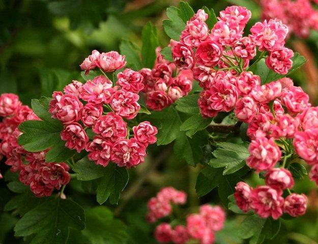 Gudobelė 'Paul's Scarlet' ir jos rožiniai žiedai. Nuotrauka iš www.duchyofcornwallnursery.co.uk