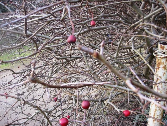 Gudobelių gyvatvorė žiemą