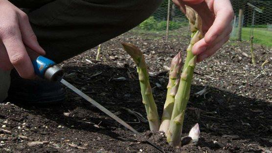 Pavasarį pjauti smidrus valgymui reikia žemai, aštriu įrankiu. Nuotrauka iš www.rhs.org.uk
